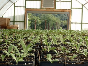 Seedings in a Greenhouse
