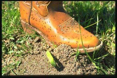 Fire Ants on Boot, Photo Bart Drees (Texas A&M)