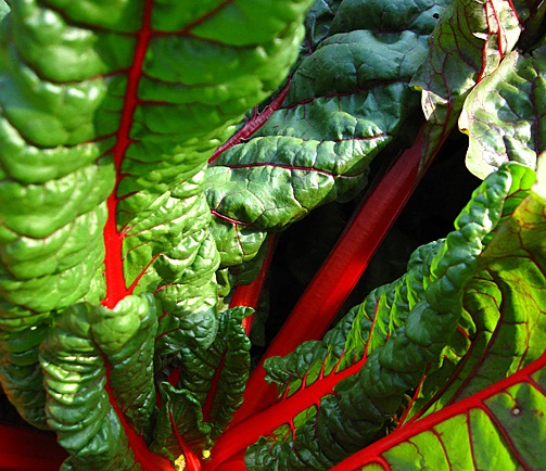 Chard in Fonda San Miguel Garden, Photo © Mike Sutter