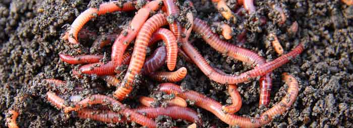 Red Wigglers, Image Courtesy of Marle Worm Growers