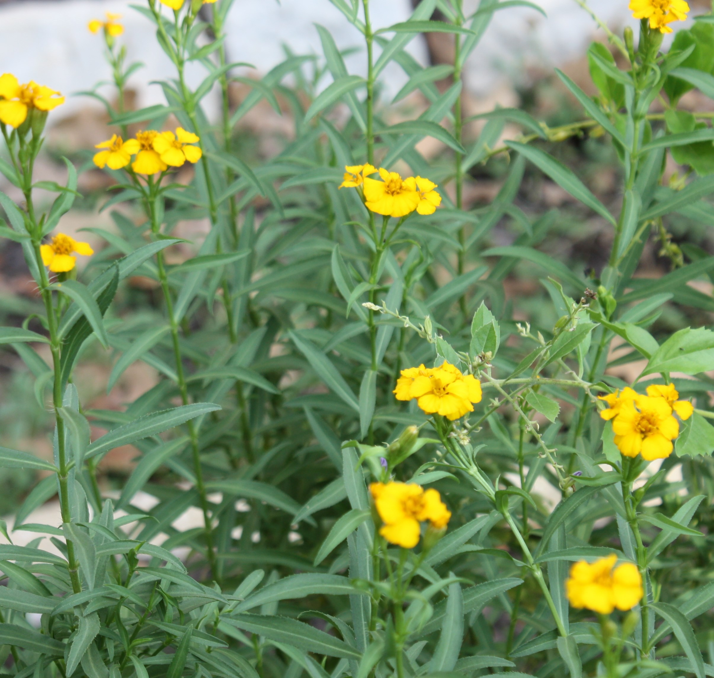 Mexican Mint Marigold growing in Betty Lambright's garden.